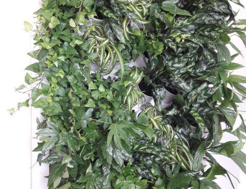 2-Ściana-zielona-tlenowa-newgardenstyle-nowoczesne-ogrody-ogrody-wertykalne-480x369